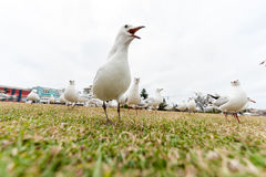 Feeding Silver Gull Close to Bondi Beach, Sydney, Australia. Closeup Royalty Free Stock Images