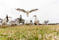 Feeding Silver Gull Close to Bondi Beach, Sydney, Australia. Flying Action. Wide Angle. Stock Photo