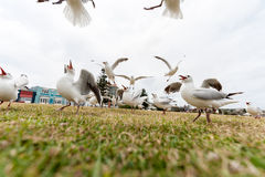 Feeding Silver Gull Close to Bondi Beach, Sydney, Australia. Flying Action. Wide Angle. Royalty Free Stock Photo