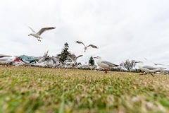 Feeding Silver Gull Close to Bondi Beach, Sydney, Australia. Flying Action. Wide Angle. Royalty Free Stock Image