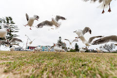 Feeding Silver Gull Doves in Bondi Beach, Sydney, Australia. Flying Action. Wide Angle. Stock Photo