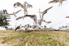 Feeding Silver Gull Doves in Bondi Beach, Sydney, Australia. Flying Action. Wide Angle. Stock Photos