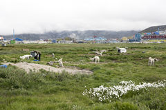 Feeding the sled dogs Greenland Ilulissat Stock Photo