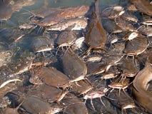 Feeding of som in the Jordan River, Israel Royalty Free Stock Image