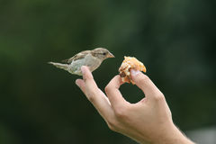 Feeding Sparrow Royalty Free Stock Images