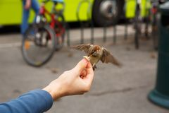Feeding sparrow. Man hand keeping the crumb of bread, feeding the sparrow Stock Images