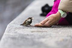 Feeding sparrow Stock Photo