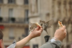 Feeding sparrows. Sparrows eating bread from hand stock images