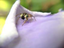 Feeding spider. On corolla of flower Stock Images