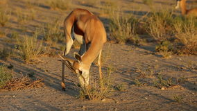 Feeding springbok antelope stock footage