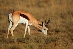 Feeding springbok antelope Stock Photography
