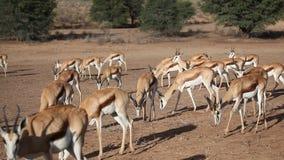 Feeding springbok stock video