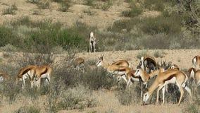Feeding springbok antelopes Stock Image