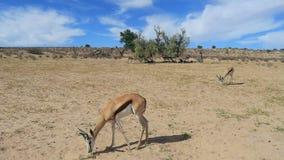 Feeding springbok antelopes - Kalahari desert stock footage