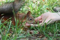 Feeding squirrel Royalty Free Stock Photo