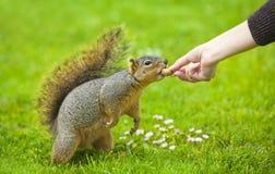 Feeding a squirrel Royalty Free Stock Photos
