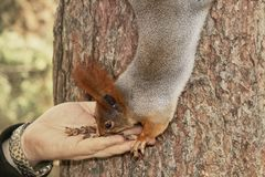 Feeding the squirrel in the autumn park. Hand of a man with a nuts. The squirrel sits on a tree and eats from the palm. The fur of royalty free stock photography