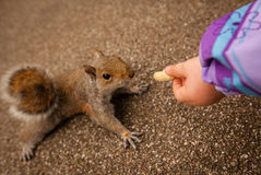 Feeding squirrel Royalty Free Stock Image