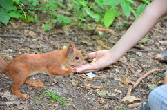 Feeding  of squirrel Stock Photography