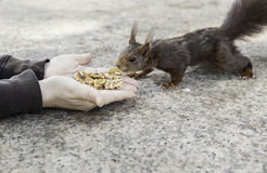 Feeding a squirrel in a forest Royalty Free Stock Photo