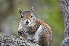 Feeding Squirrel Looks Your Way Royalty Free Stock Photography