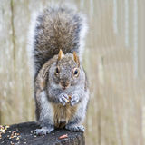 Feeding Squirrel. A squirrel sitting on a stump feasting on peanuts and seeds Stock Photography