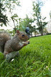 Feeding a squirrel Royalty Free Stock Image