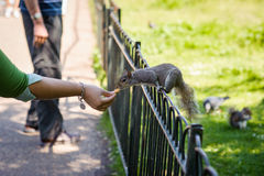 Feeding the squirrel Stock Images