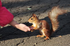 Feeding squirrels Royalty Free Stock Image