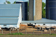 Feeding Steers. Two groups of cattle eating in a barnyard stock photography