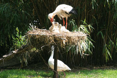 Feeding stork and chickens Stock Image