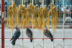 Feeding Street Pigeons. Bunches of paddy rice stems hung on street barricade, three pigeons are about to eat them stock image