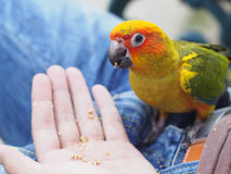 Feeding Sun Conure Bird Stock Image