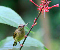 Feeding sunbird. A female olive back sunbird catches an insect while searching for nectar stock photography