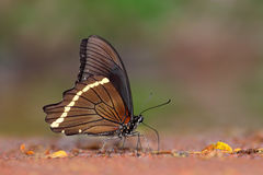 Feeding swallowtail butterfly Royalty Free Stock Image