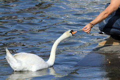 Feeding swan Royalty Free Stock Photos