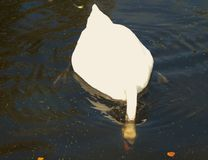 Feeding swan Stock Image
