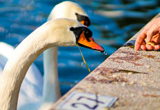Feeding a swan Royalty Free Stock Photo