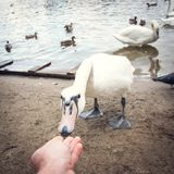 Feeding the swan from the hands on the sandy shore POV stock photos