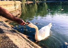 Feeding of  swan on a lake Stock Images