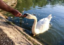 Feeding of  swan on a lake Royalty Free Stock Photography