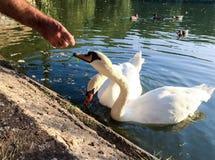 Feeding of  swan on a lake Royalty Free Stock Photos