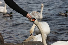 Feeding swan Stock Photography