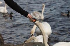 Feeding swan stock photography