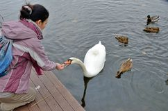 Feeding a swan and some ducks in the water Stock Photo
