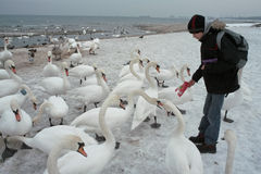 Feeding Swans  Stock Photo
