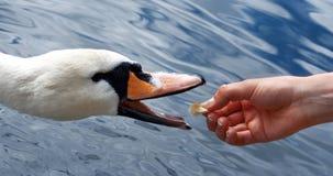 Feeding swans Stock Image
