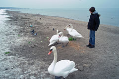 Feeding Swans  Royalty Free Stock Image