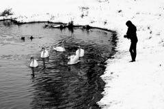 Free Feeding Swans Stock Photography - 29775812