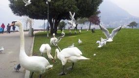 Free Feeding Swans Royalty Free Stock Image - 97340356